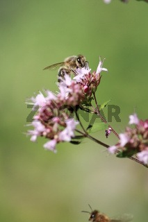 Biene an Origanoblüte
