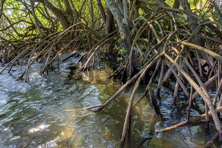 Roots and tropical vegetation typical of mangroves
