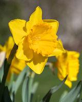 Daffodil, Narcissus pseudonarcissus