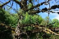 Larix sibirica, Sibirische Laerche, siberian larch