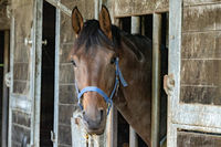 Curious brown horse looks out the stable door. The stallion wears a blue halter. Eat hay hanging out of the mouth and look straight into the camera. The exterior of the horse stable is made of wood and metal