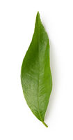 mandarin leaf isolated on a white background
