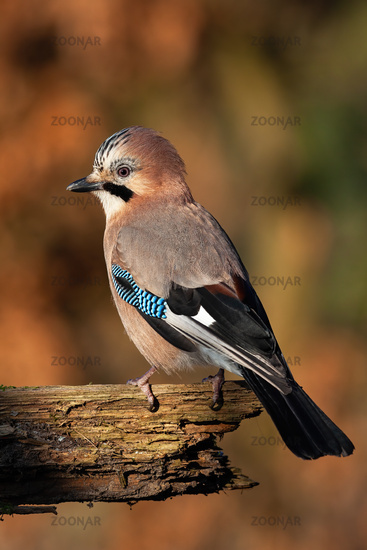 Eurasian jay looking over shoulder on wood in autumn nature in vertical shot