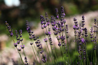 Lavendel einzelne Stengel Rosenhöhe Darmstadt