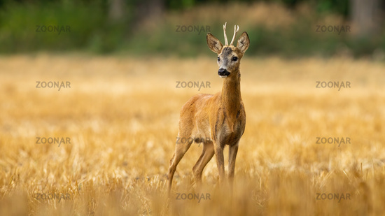 Young roe deer buck with small antlers on a stubble filed in summer
