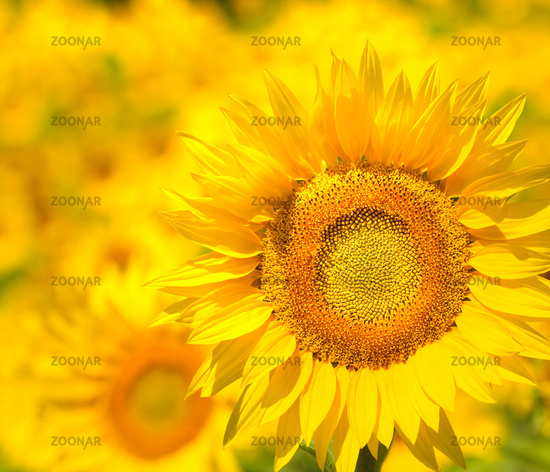 Sunflower field, Provence, France, shallow focus