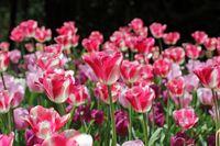 Fröhliche Tulpen