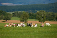 Herd of white and brown goats grazing on a green meadow in summer nature.