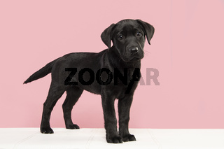 Cute black labrador retriever puppy standing on a white couch looking at the camera
