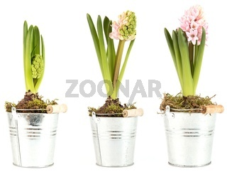 Hyazinthen verschiedene Blüten