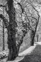 Winter - Die alten Baeume am Weg