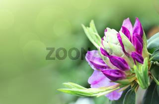 Pink azalea flower isolated on blur background