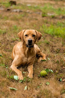 Hungarian hound pointer vizsla dog is lying in the grass with his ball.