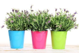 Three pots with lavender