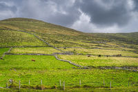 Herd of cows grazing on green pastures on the mountainside in Dingle