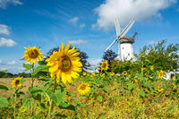 Scenic sunflower field in front of historic windmill in Northern Germany