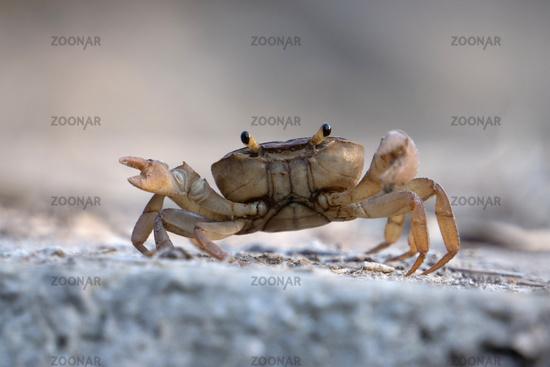 Indian ground crab, Cardisoma carnifex, Satara, Maharashtra, India