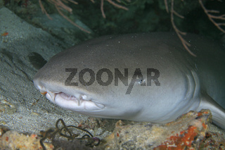 Indopazifischer Ammenhai, Tawny Nurse Shark, Nebrius ferrugineus