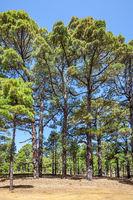 Relict pine tree woods in El Hierro