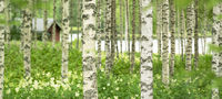 Sauna mitten im Birkenwald an einem See in Finnland