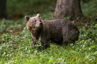 Brown bear standing in woodland in summertime nature