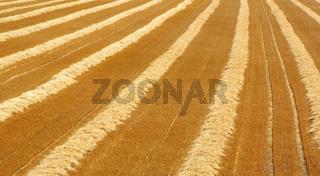 Kornfeld - Harvest Time