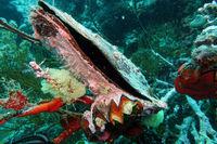 grosse Flügelauster (Pteria sp.) verwachsen mit einer Zacken-Auster oder Hahnenkammauster (Lopha christagalli)