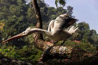 Dalmatian pelican aggressive lunge