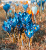 Blue crocus flowers blossoms