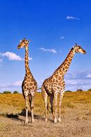 Giraffen, Etosha-Nationalpark, Namibia, (Giraffa camelopardalis) | giraffes, Etosha National Park, Namibia, (Giraffa camelopardalis)