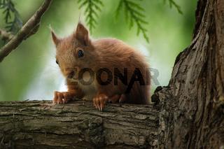 Eichhörnchen auf einem Baum schaut hinunter