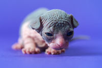 Sphynx Cat of blue and white two weeks old lying down on blue background and looking at camera
