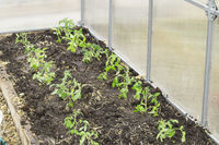 Growing young tomato plants in a polycarbonate greenhouse, the concept of organic gardening