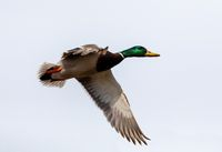 male of Mallard Duck Flying over pond