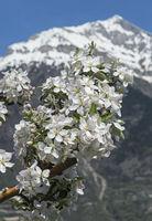 Blühender Zweig eines Apfelbaums, Fully, Wallis, Schweiz