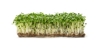 Green arugula microgreen isolated on white