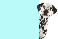 Portrait of a dalmatian dog looking around the corner of a blue empty board with space for copy