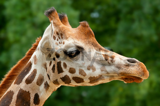 Closeup of Giraffe's head in ZOO Prague - Czech Republic Europe