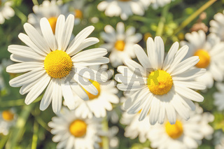 daisy flower field with shallow focus