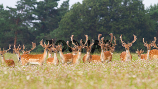 Bunch of fallow deer stags standing on meadow in summer nature