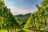 Hills Of vines on Vineyard In South Styria Region in Austria