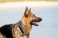 German Shepherd head sitting outside outside by a lake. Friendly appearance of the dog
