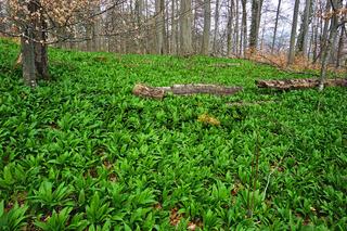 Bärlauch, Allium ursinum, wild garlic,