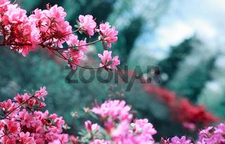 Beautiful sakura flowers isolated on green.