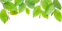 Branch Of Green Leaves Isolated Over White