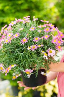 Purple daisy flower in pot