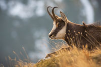Tatra chamois lying in grass in autumn nature in close-up