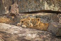 Lion cubs, Panthera leo, Resting on rock, Maasai Mara, Africa