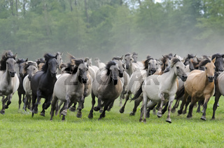 Duelmener Wildpferde, galoppierende Herde, wild herd of Duelmen Ponies at a gallop