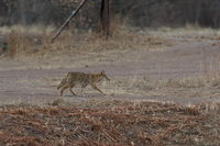 Coyote in Bosque del Apache national wildlife refuge in New Mexico,USA